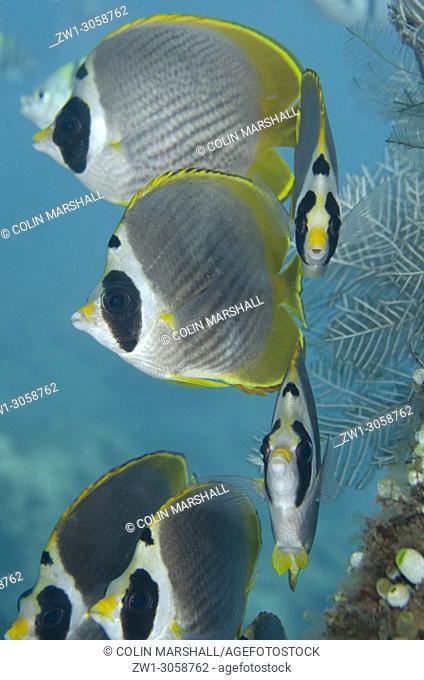School of Panda Butterflyfish (Chaetodon adiergastos, Chaetodontidae family), Jemeluk Bay Gallery dive site, Amed, east Bali, Indonesia