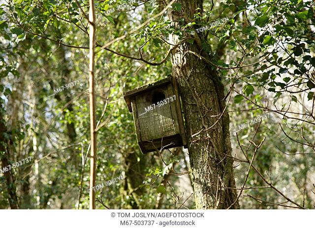 Bird Box with enlarged hole. Cabilla and Redrice Woods nature reserves, Cornwall, England, UK