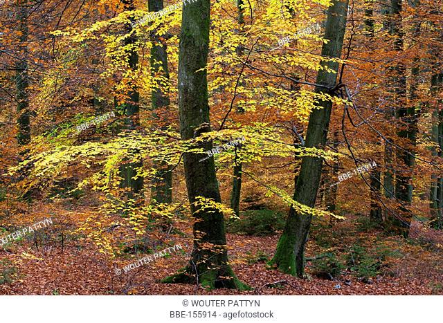 Leaves of Beech (Fagus sylvatica) in Beech forest, Ardens, Belgium