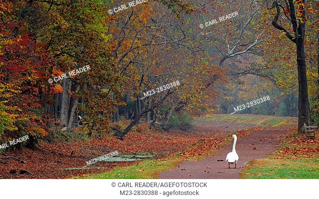 A mute swan, Cygnus olor, walks a lonely path in autumn, Pennsylvania, USA