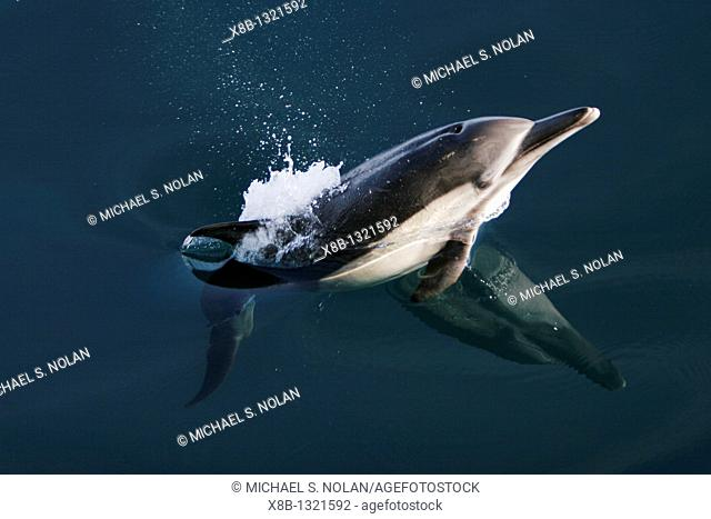 Long-beaked Common Dolphin Delphinus capensis leaping in the Gulf of California Sea of Cortez, Mexico