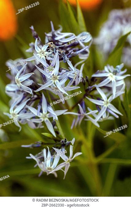 Threadleaf blue star (Amsonia hubrichtii)