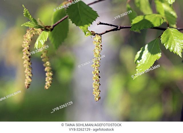 Birch tree (Betula) blossoms or catkins and green leaves in the spring. Birch pollen allergy is a common seasonal allergy