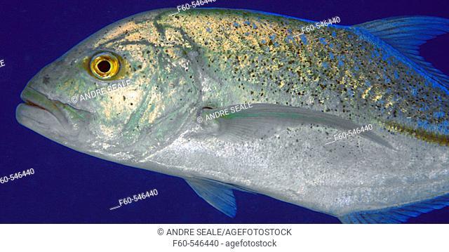Bluefin trevally, Caranx melampygus, Ailuk atoll, Marshall Islands, Pacific