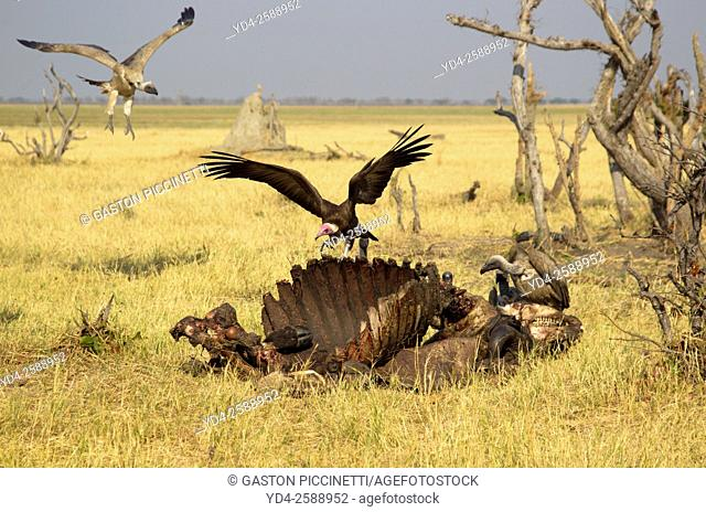 Hooded Vulture (Necrosyrtes monachus), and Cape Vultures (Necrosyrtes monachus), approaching at the carcass of a Cape Buffalo (Syncerus caffer caffer)