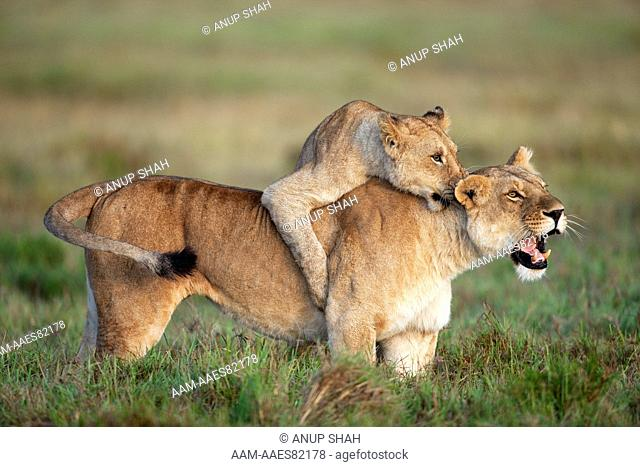 Lion cub aged 1-2 years play fighting with a lioness (Panthera leo). Maasai Mara National Reserve, Kenya. Mar 2009