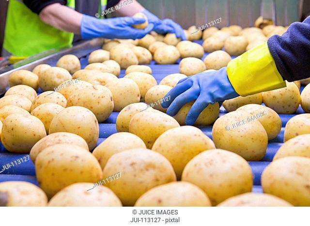 Close up quality control workers inspecting potatoes on conveyor belt