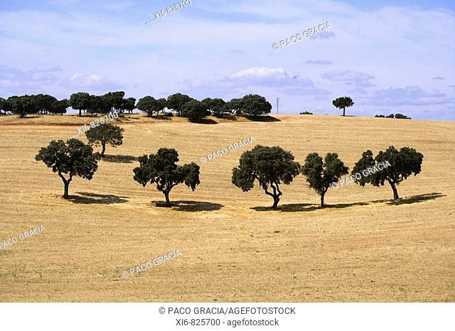 Holm Oaks, La Cabrera. Guadalajara province, Castilla-La Mancha, Spain