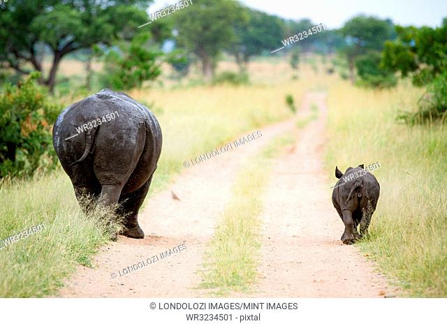 A rhino mother and calf, Ceratotherium simum, walk down a road track with their backs to the camera