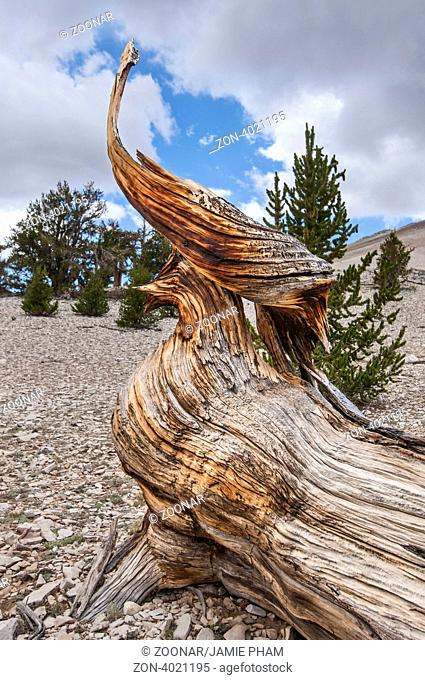 The Ancient Bristlecone Pine Forest is high in the White Mountains in Inyo County in eastern California. The Bristlecone Pine (Pinus longaeva) trees grow...