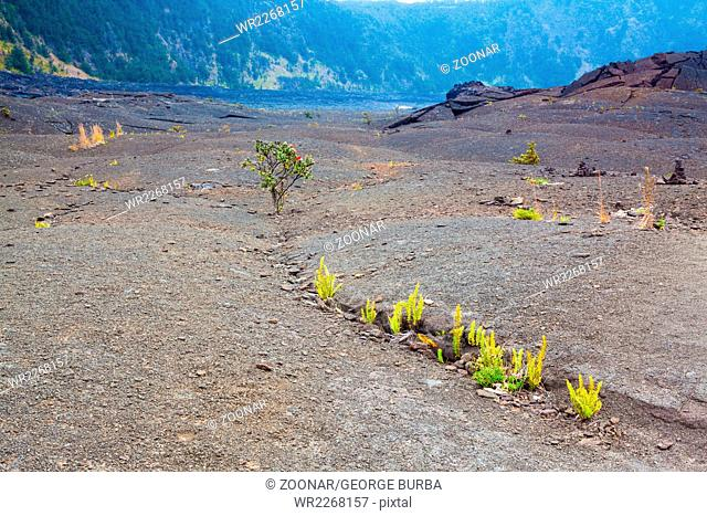 Young ferns and ohia lehua plants growing through old lava at the barren bottom of Kilauea Crater in Hawaii Volcanoes National Park