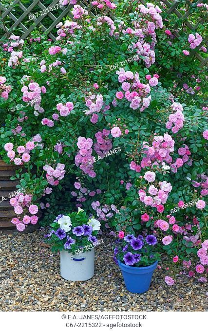 UK, June, Pink Climbing roses and Petunias