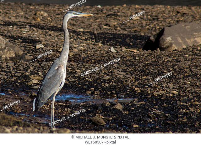 Great Blue Heron standing on riverbank. Arkansas, USA