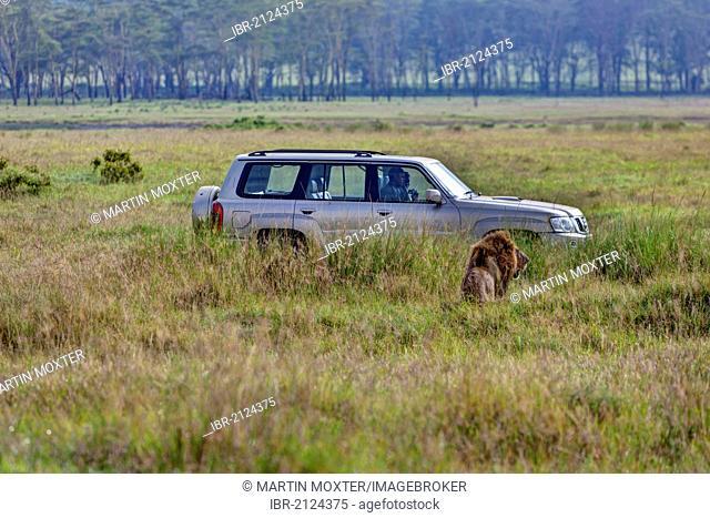 Lion (Panthera leo) in front of jeep, Lake Nakuru National Park, Kenya, East Africa, PublicGround
