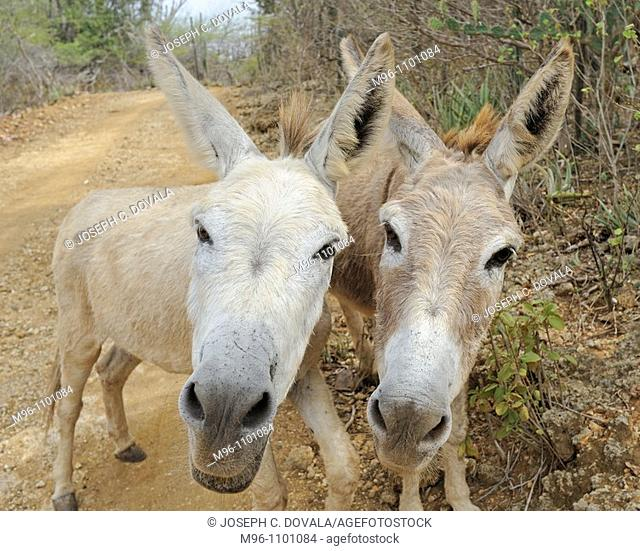 Wild burros looking for handout, Bonaire Island, Netherlands Antilles, Caribbean