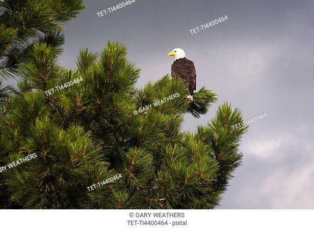 Bald Eagle Haliaeetus leucocephalus on tree