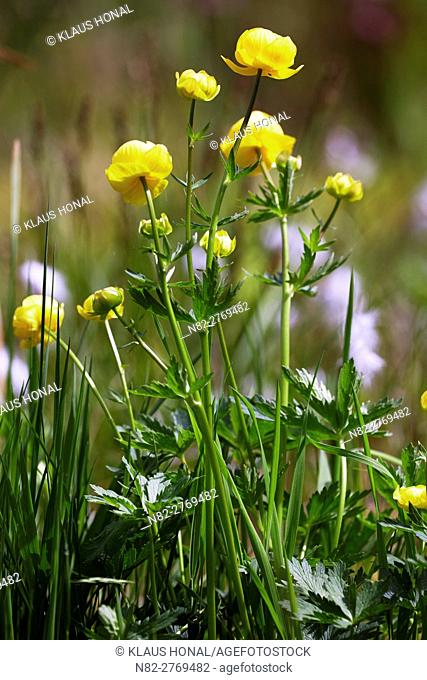 European Globeflower (Trollius europaeus) blooming in a wet meadow. The plant prefer a habitat from wet and unfertilized meadows - Bavaria/Germany