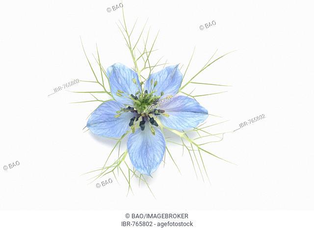 Fennel Flower, Black Caraway (Nigella sativa), medicinal plant