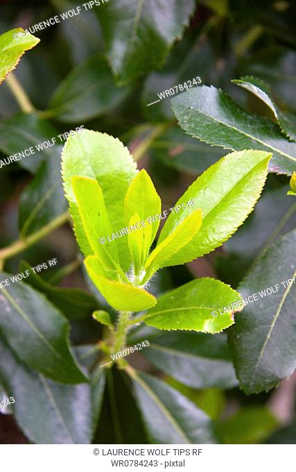 Leaves of strawberry tree
