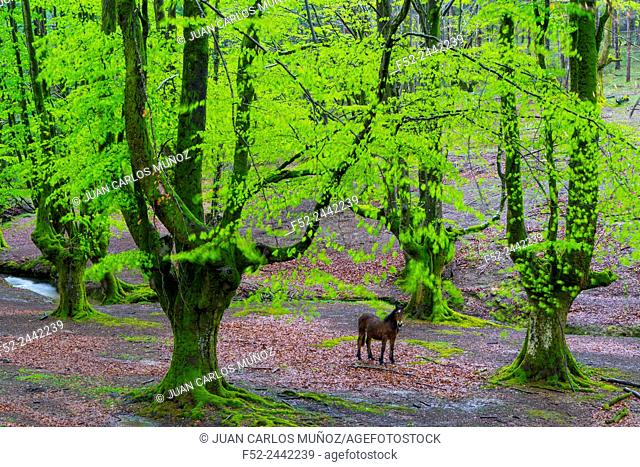 Beech forest, Otzarreta beech forest, Gorbeia Natural Park, Bizkaia, Basque Country, Spain, Europe