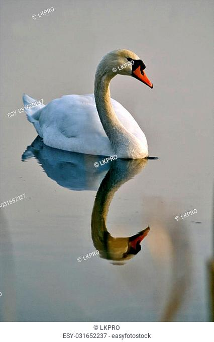 italy reflex front of little white swan black eye in the river ticino