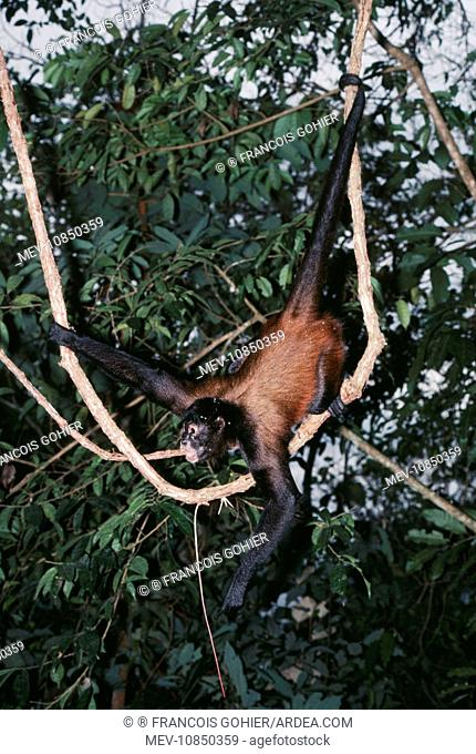 Black-handed Spider / Geoffroyis Spider MONKEY - in canopy (Ateles geoffroyi). Distribution: Central Mexico - Panama