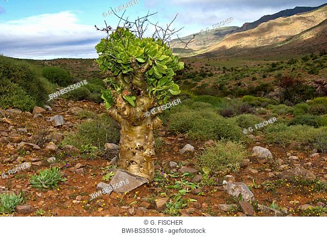 Botterboom, Butter Tree (Tylecodon paniculatus), South Africa, Northern Cape, Richtersveld National Park, Kuboes