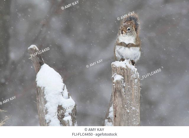 Red squirrel sitting on tree stump on a grey, snowy day, Ontario