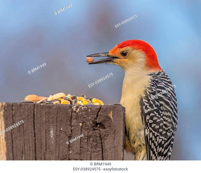 Male red-bellied woodpecker eating bird seed on a wooden post