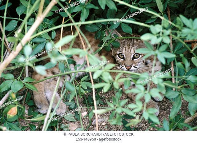 Bobcat kitten (Felis rufus). Tucson. Arizona. USA