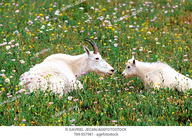 North America, USA, Montana, Glacier National Park. Mountain Goats (Oreamnos americanus)