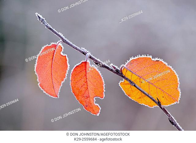 Frosted autumn leaves, Greater Sudbury, Ontario, Canada