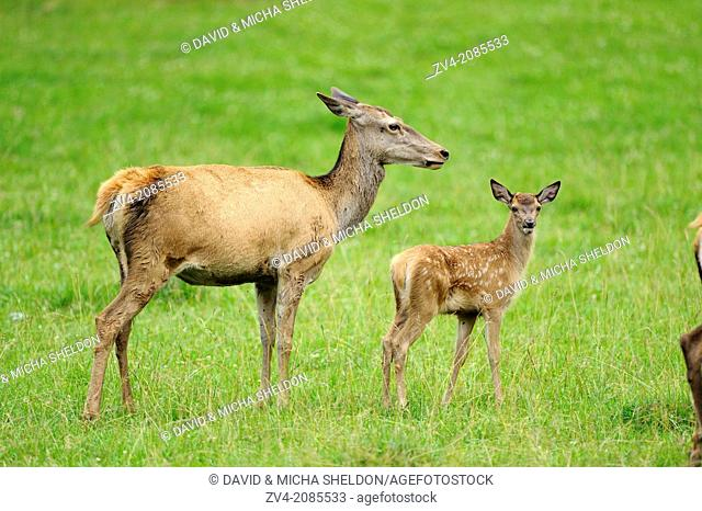 Close-up of a red deer (Cervus elaphus) calf mith her mother on a meadow, Bavaria, Germany
