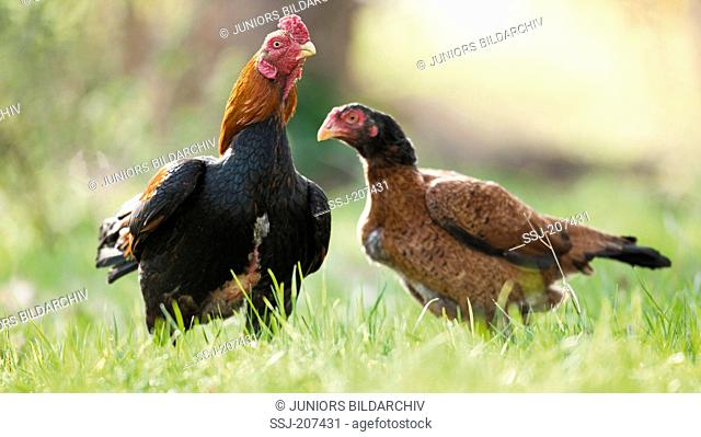 Asil Chicken. Cock and hen on a meadow. Germany