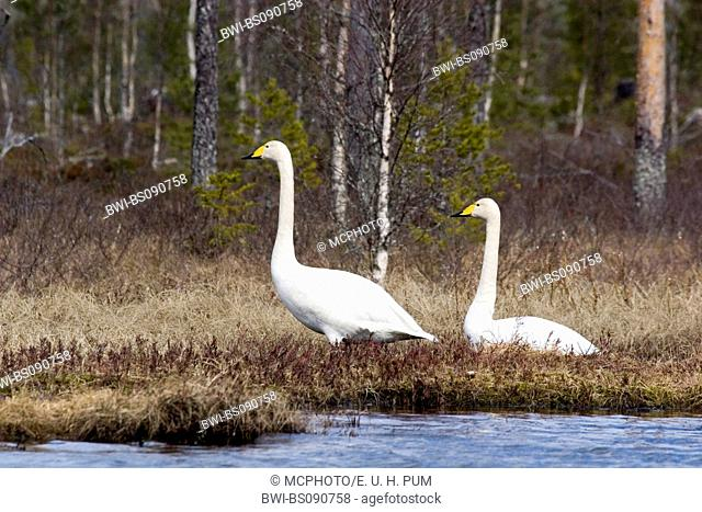 whooper swan (Cygnus cygnus), male and female at the shore of a lake, Sweden