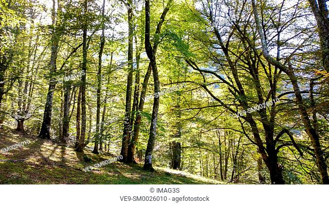Beech Forest in summer in Redes Natural Park and Biosphere Reserve. Caso municipality, Asturias, Spain