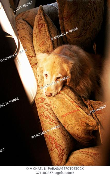 Golden retriever dog on couch