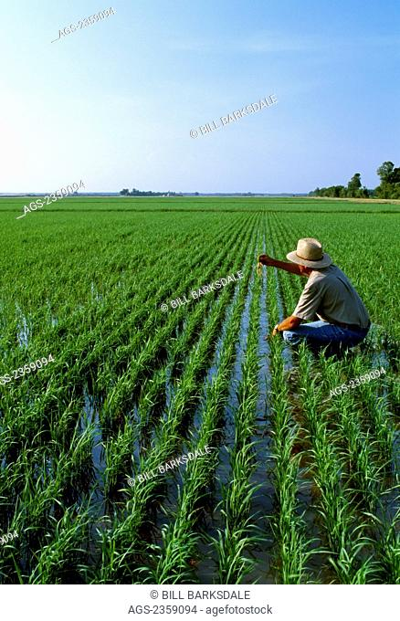Agriculture - A farmer examines his flooded early growth 5-leaf stage rice crop in late Spring morning light / Arkansas, USA