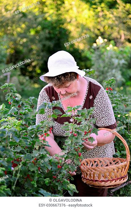 Woman reaps a crop of red currant in the garden