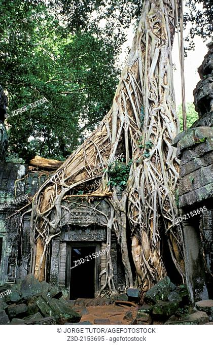 Roots of a spung running along Ta Prohm temple, Ruins of Angkor, Siem Reap, Cambodia. UNESCO World Heritage Site