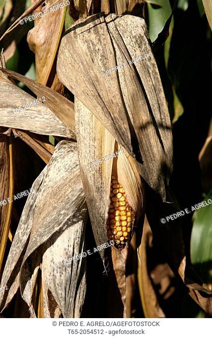 Corn cob in a cornfield. Arzua in the town of La Coruna