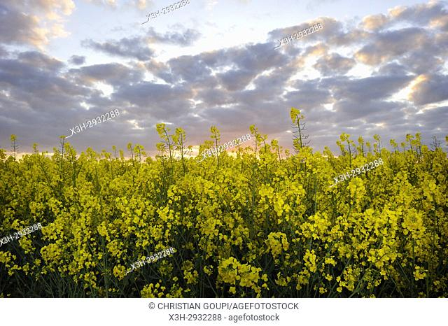 rapeseed field at sunset, Eure-et-Loir department, Centre-Val de Loire region, France, Europe