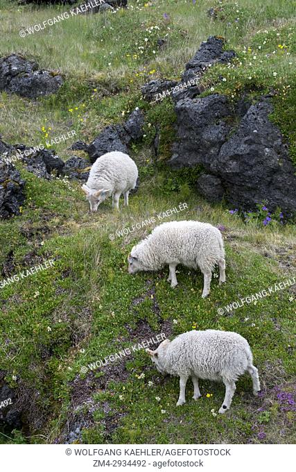 Sheep grazing in an old lava field overgrown with vegetation in Budir on the Snaefellsnes Peninsula in western Iceland