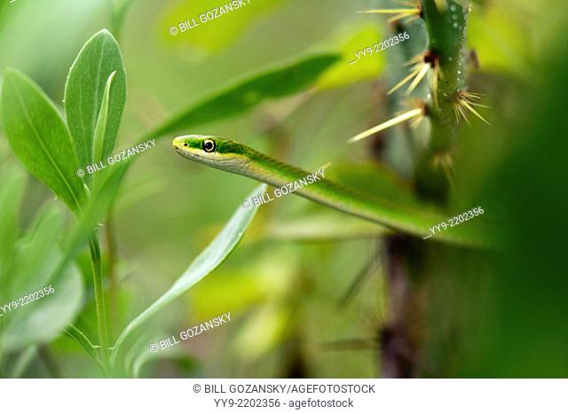 Rough Green Snake - Camp Lula Sams - Brownsville, Texas USA
