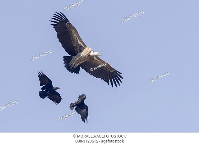 Africa, Ethiopia, Rift Valley, Debre Libanos, White-backed vulture (Gyps africanus) and Fan-tailed raven (Corvus rhipidurus), in flight, raven is attacking
