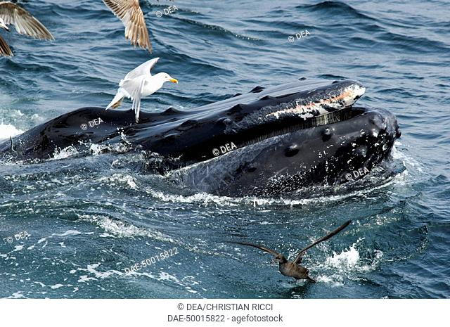 Zoology - Cetacean - Whale - Humpback Whale (Megaptera novaeangliae). Gulls hover around the baleen whale to clean residues of fish and plankton
