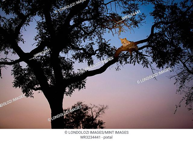 A leopard, Panthera pardus, lies on two tree branches at dusk, in a tree in silhouetted
