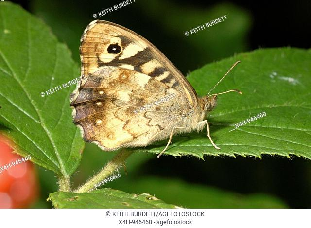 Speckled Wood butterfly Pararge aegeria