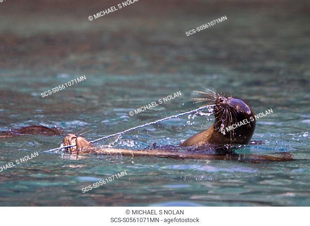 Galapagos sea lion Zalophus wollebaeki pups playing with a rope in the Galapagos Island Group, Ecuador Pacific Ocean