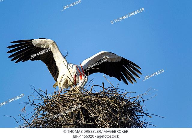 White storks (Ciconia ciconia), pair in their nest, male is welcomed by female, Doñana National Park, Huelva province, Andalusia, Spain